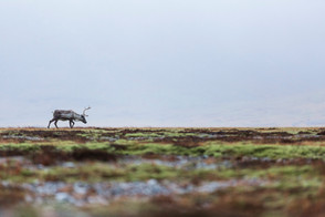 Enligt rensdyr | Island