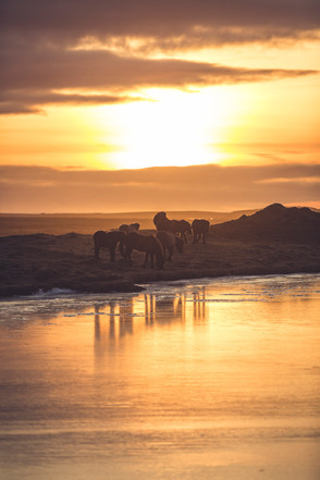 Islandske heste | Island