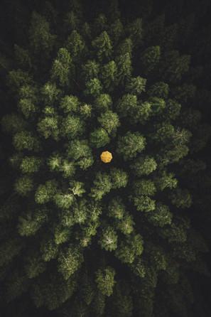Granskov og gul paraply | Baaring Skov
