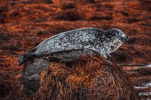 Plettet sæl | Island