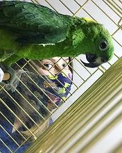 amazon papağanı 3.jpeg
