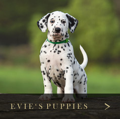 Evie's Puppies.jpg
