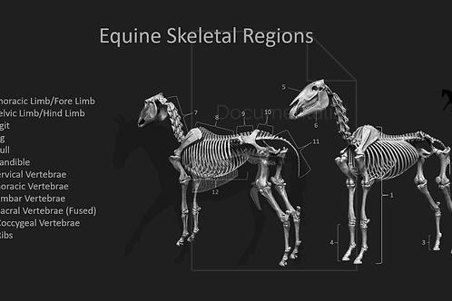 Equine Skeletal Regions