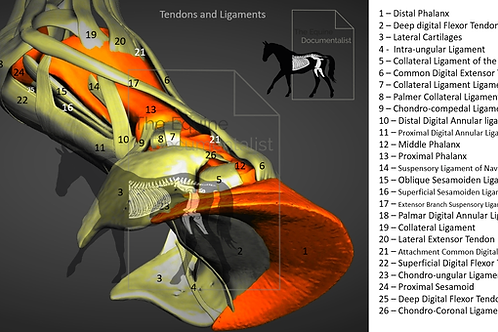 ligaments and tendons  3D(Digit)
