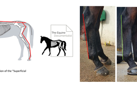 Myofascial trains, Kinetic chains and Antalgic Posture - Their Farriery Relevance