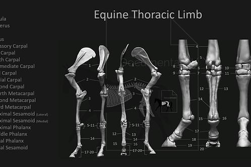 Equine Thoracic Limb