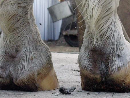 High-Low Hoof Conformation - Farriery and Whole Horse Relevance