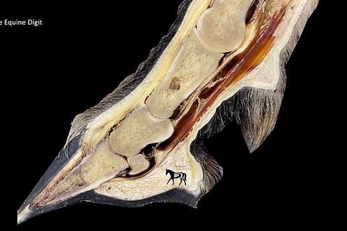 The Equine Digit Anatomy ring binder
