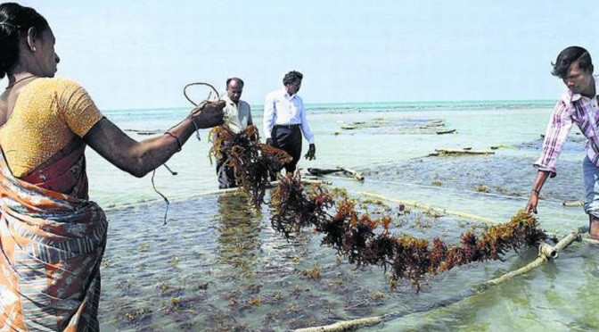 Cultivating-seaweed-could-be-a-massive-o