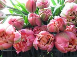 pink-star-tulip-blue-cloud-f2