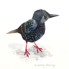 A Darling Starling