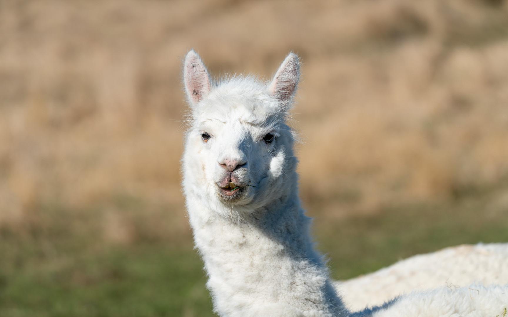 nz-new-Zealand-llama.jpg