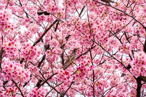 Hanami Bird