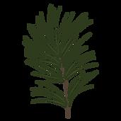 Kiefer Fichte Zweige 1