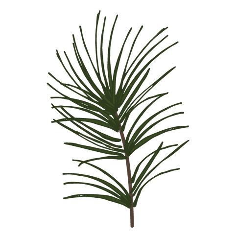 Pine Spruce Branches 1