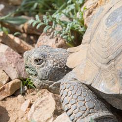 Desert Tortoise, California City