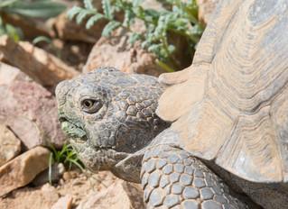 First Desert Tortoises of the Year!