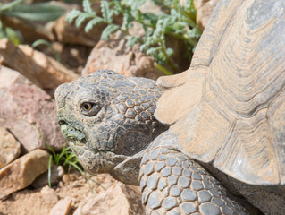 First Desert Tortoises of the Year!