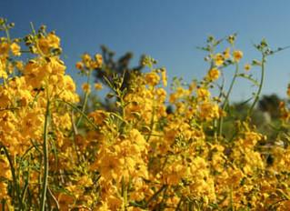 Memorial Day Desert Blooms