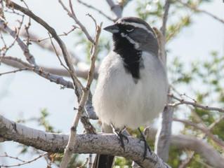 Sparrow Serenade