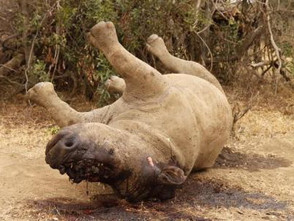 CSIR predictive modelling will boost battle against rhino poaching