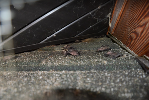 These baby bats (pups) are laying out on the shingles moving around, waiting for their mothers to get back.