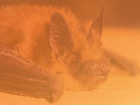 Little Brown Bat vs. Big Brown Bat