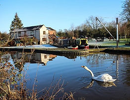 A swan on the canal at Barlaston