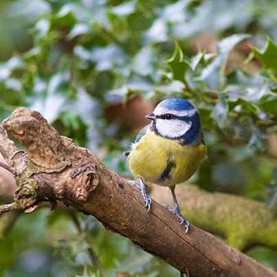 Blue Tit (Cyanistes Caeruleus) Perched in a Tree