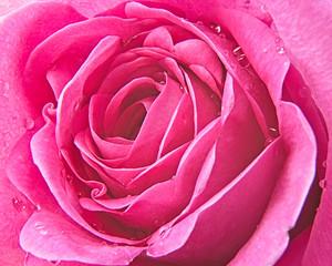 Raindrops on Pink Rose Petals