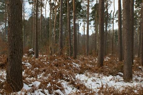 Tall Tree Trunks in Winter