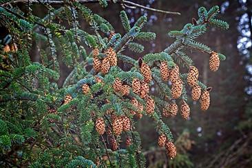 Ettrick Valley Woodland, Pine Cones