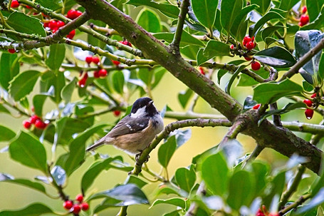 Coal Tit (Periparus ater) In A Holly Tree