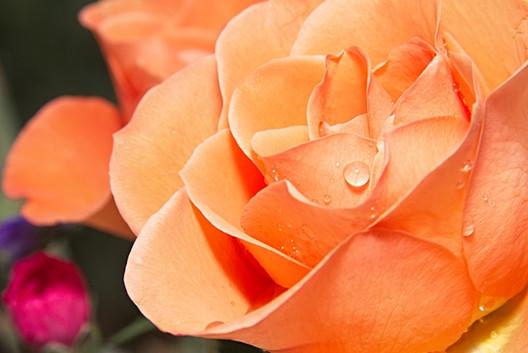 Raindrops on Orange Rose Petals
