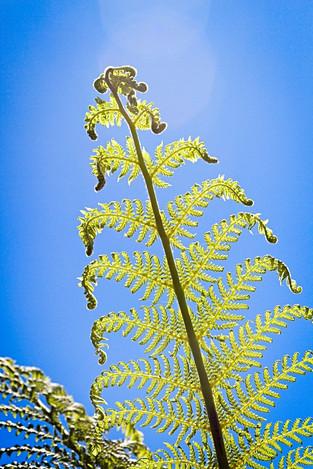 Tasmanian Tree Fern Leaf
