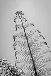 Monochrome Tasmanian Tree Fern Leaf