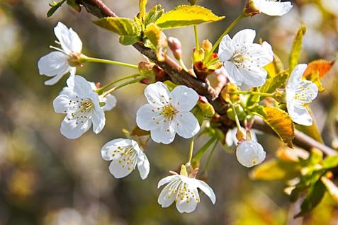 Beautiful White Spring Blossom
