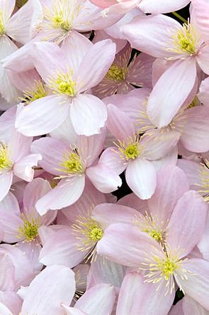 Clematis Montana Flowers in Bloom