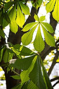 Horse-chestnut Leaves in Spring