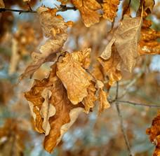 Golden Brown Birch Tree Leaves