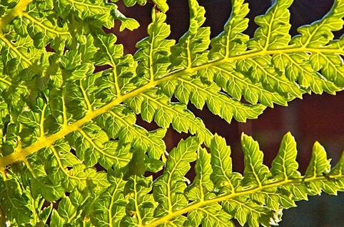 Tasmanian Tree Fern Leaves