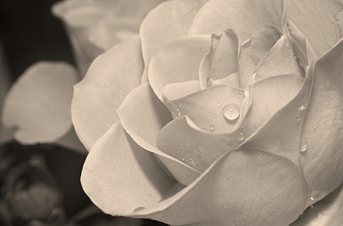 Raindrops on Rose Petals