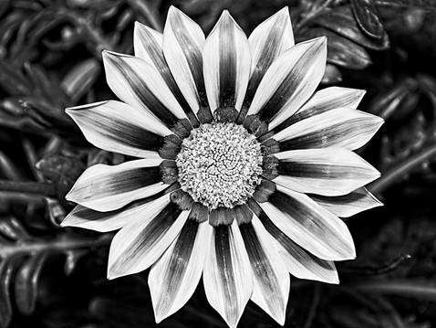 Black and White Treasure Flower, Gazania Rigens