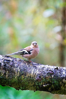 Female Chaffinch (Fringilla coelebs) in Woodland