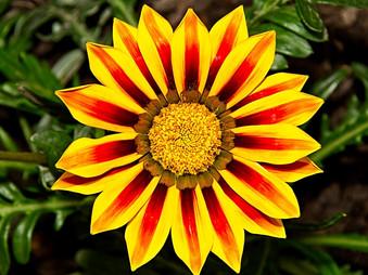Red and Yellow Treasure Flower, Gazania Rigens