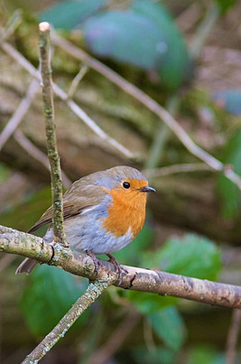 Robin (Erithacus Rubecula) Perched in Woodland