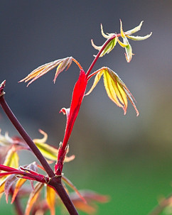 Acer Leaves In Spring