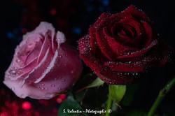 Roses 300mm 2018-12-23 010-16