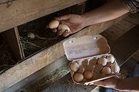 Sammeln Eier