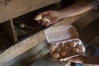Yumurta Toplama
